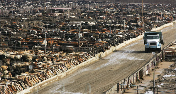 Would you want to live this life? CAFO Beef (Factory Farming)