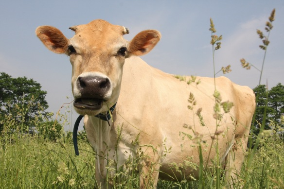 This is a Happy Amish Raised Cow