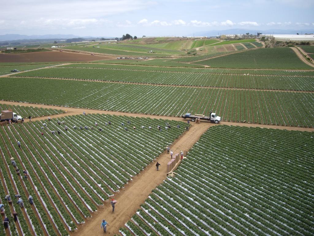 Monoculture - Strawberry Fields